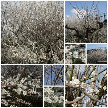 あきる野周辺の桜.jpg