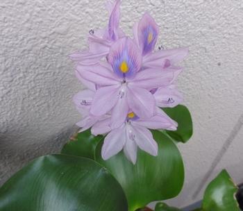 ほてい花.jpg