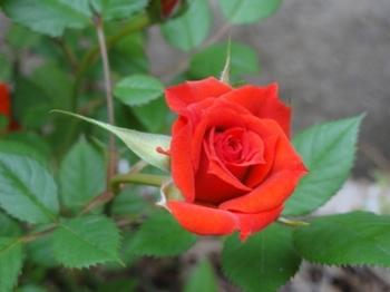 ミニ薔薇.JPG
