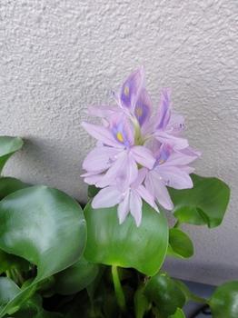 青紫ほてい草.jpg